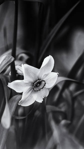 Daffodils Photograph - Narcissus In The Shadows by Susan Capuano