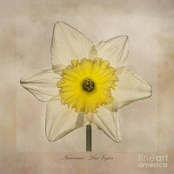 Daffodils Photograph - Narcissus Las Vegas by John Edwards