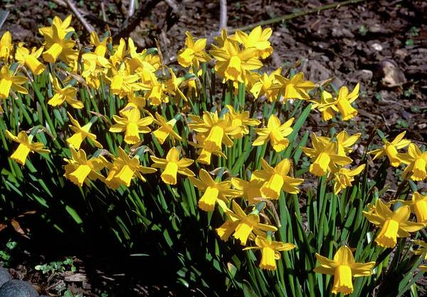 Deep Woods Wall Art - Photograph - Narcissus Tete-a-tete by Tony Wood/science Photo Library