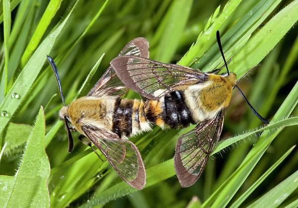 Hemaris Photograph - Narrow-bordered Bee Hawk-moths Mating by Bob Gibbons