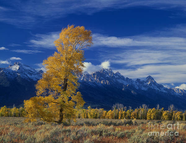 Photograph - Narrowleaf Cottonwoods Fall Color Teton by Dave Welling