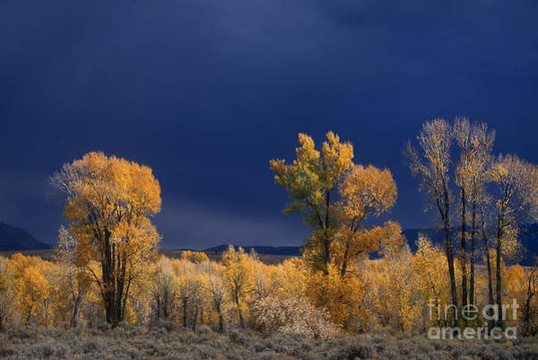 Photograph - Narrowleaf Cottonwoods Fall Grand Tetons National Park Wyoming by Dave Welling