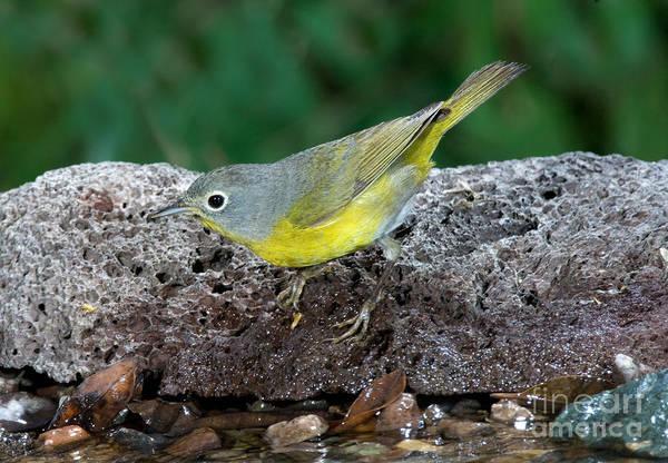 Parulidae Photograph - Nashville Warbler Vermivora Ruficapilla by Anthony Mercieca