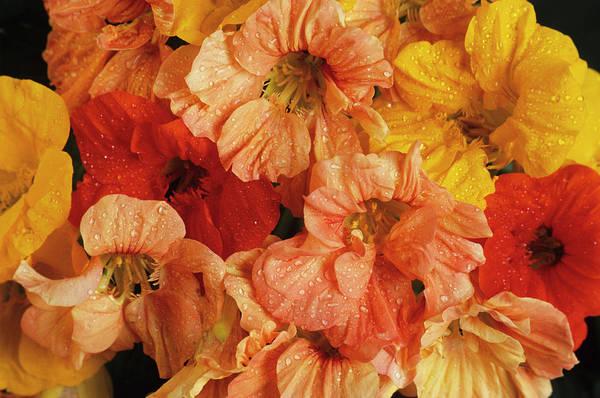 Nasturtiums Wall Art - Photograph - Nasturtium 'double Gleam' Flowers by Ann Pickford/science Photo Library