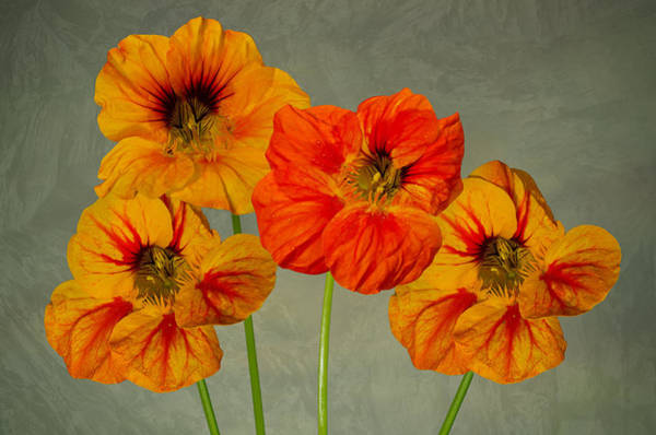 Photograph - Nasturtium by Pete Hemington