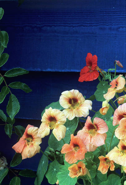 Nasturtiums Wall Art - Photograph - Nasturtium (tropaeolum Majus) Flowers by Andrew Ackerley/science Photo Library