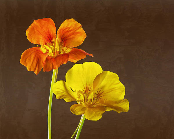Photograph - Nasturtiums by Pete Hemington
