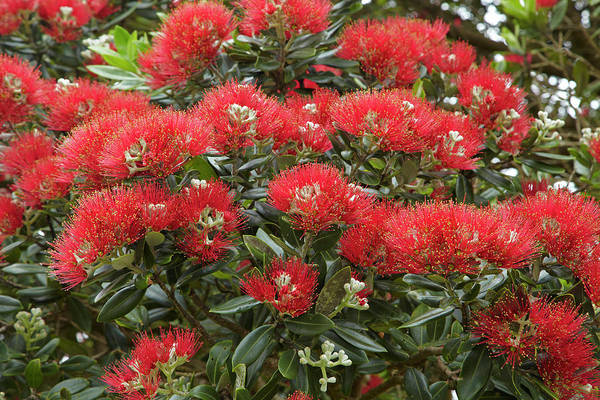 Native Pohutukawa Flowers (metrosideros Art Print by David Wall