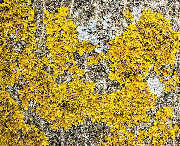 Photograph - Natural Abstract - Yellow Lichen Growing On Bark Of Tree  by Matthias Hauser