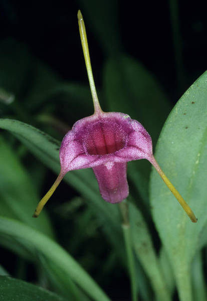Colombian Wall Art - Photograph - Natural Hybrid Orchid Flower by Paul Harcourt Davies/science Photo Library