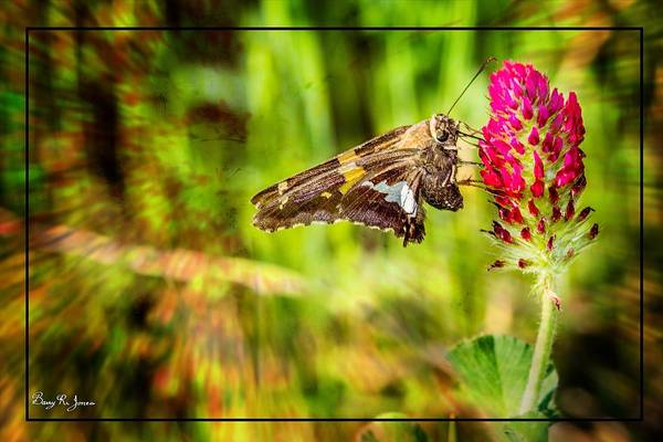 Photograph - Butterfly - Clover - Nature's Bountry by Barry Jones
