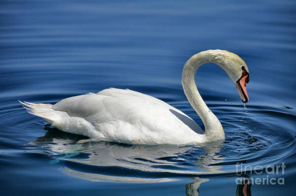Swan Neck Photograph - Nature's Grace by Deb Halloran
