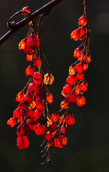 Photograph - Natures Lanterns by Pete Hemington