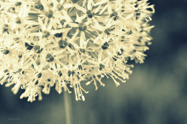 Photograph - Nature's Popcorn Ball by Andrea Platt