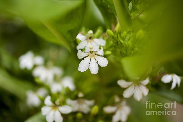 Photograph - Naupaka Plant Flowers by Charmian Vistaunet