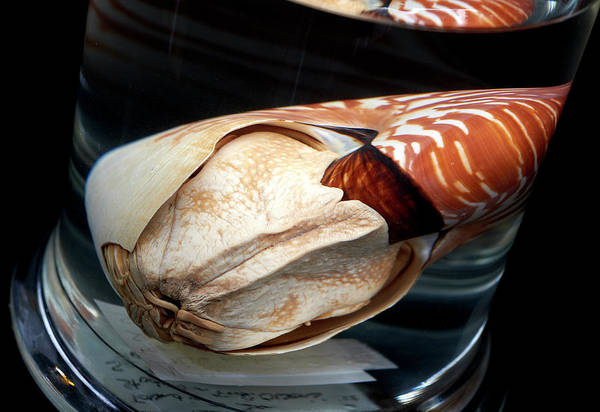 Mollusca Photograph - Nautilus by Natural History Museum, London