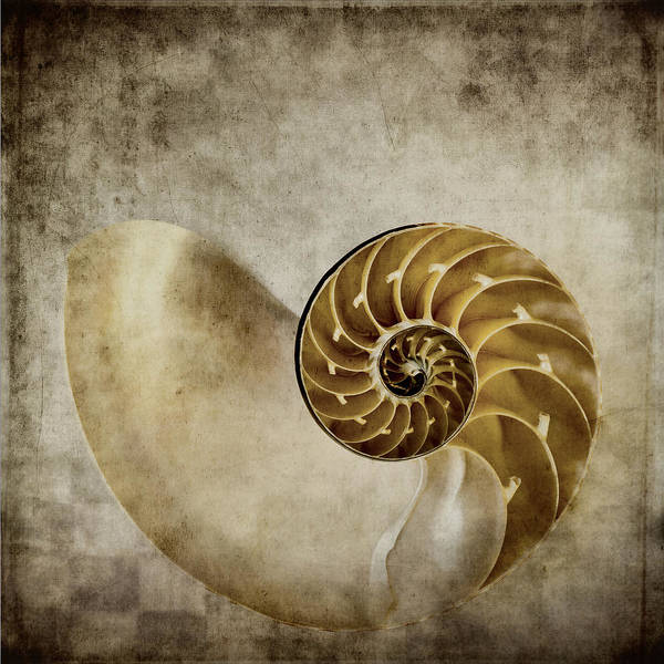 Square Photograph - Nautilus Shell by Carol Leigh