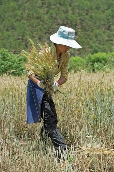 Ethnic Minority Photograph - Naxi Minority Woman Harvesting Wheat by Tony Camacho