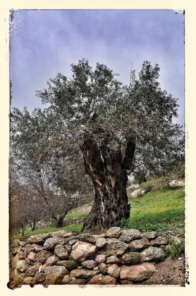Photograph - Nazareth Olive Tree by Mark Fuller