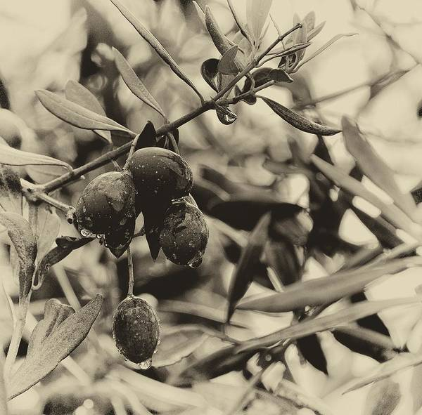 Photograph - Nazareth Olives Israel Antiqued by Mark Fuller
