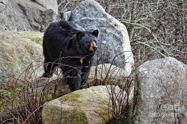 Photograph - Black Bear In The Rocks by Ronald Lutz