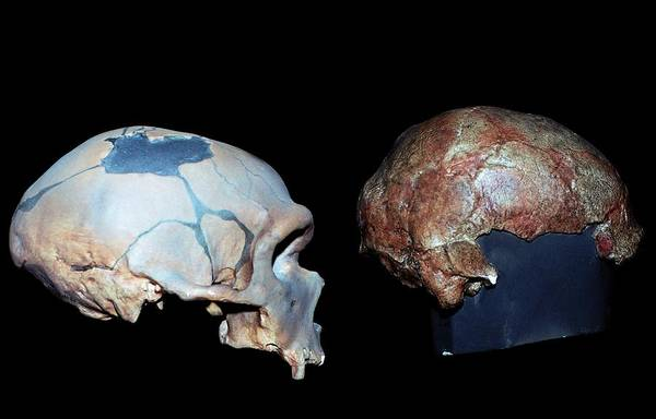 Homo Sapiens Photograph - Neanderthal And Cro-magnon Skulls by Natural History Museum, London/science Photo Library