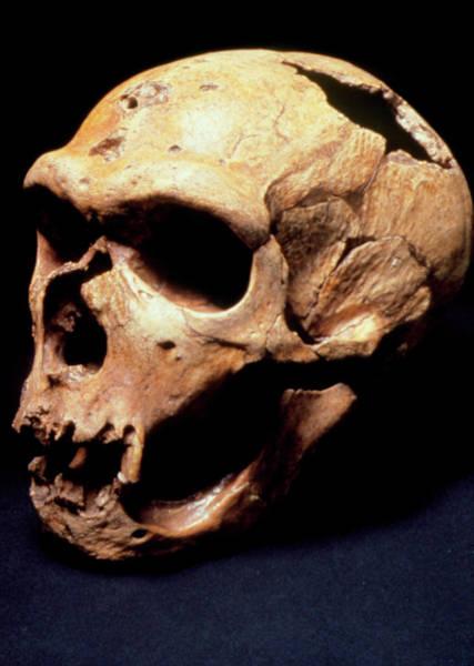 Chapelle Photograph - Neanderthal Man Skull (la Chapelle) by John Reader/science Photo Library