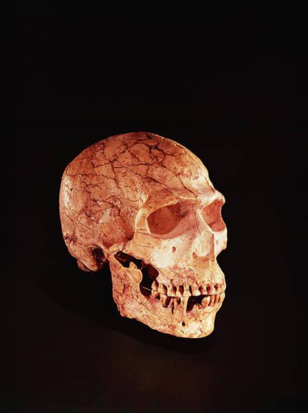 Homo Sapiens Photograph - Neanderthal Skull, Discovered On Mt Carmel, Palestine C.1920 Bone by Prehistoric