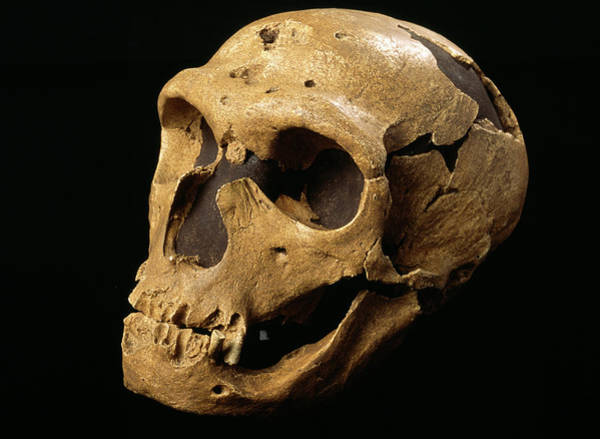 Chapelle Photograph - Neanderthal Skull by Pascal Goetgheluck/science Photo Library