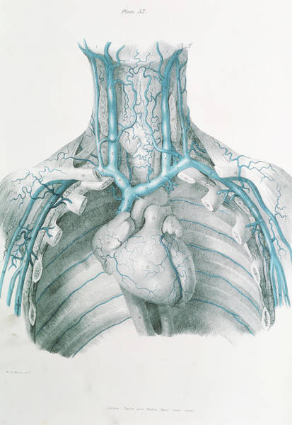 Superior Vena Cava Photograph - Neck And Chest Veins by Sheila Terry/science Photo Library