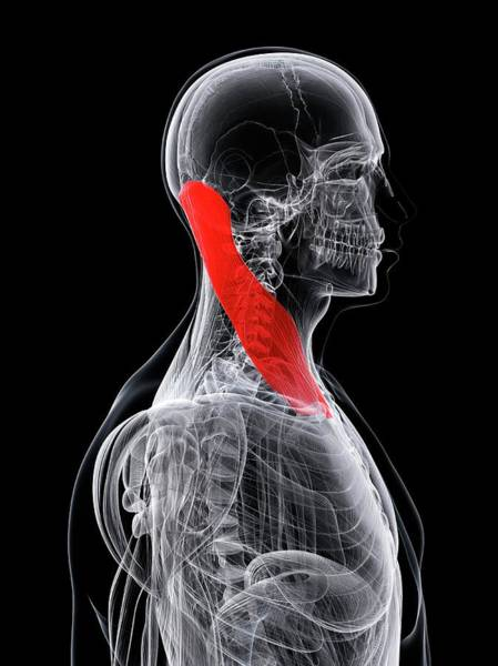 Head And Shoulders Photograph - Neck Muscle by Sciepro/science Photo Library