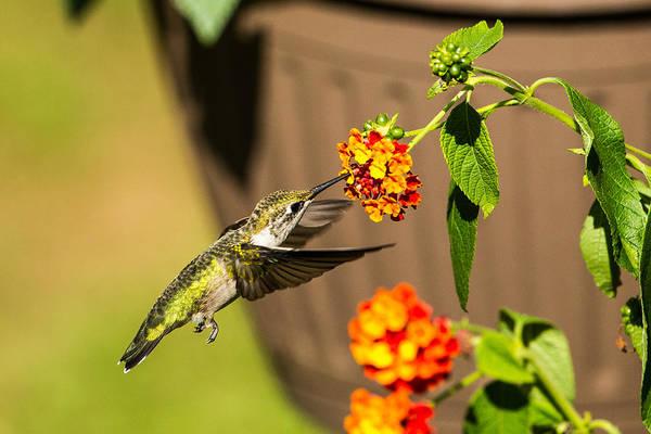 Photograph - Nectar by Dave Hahn
