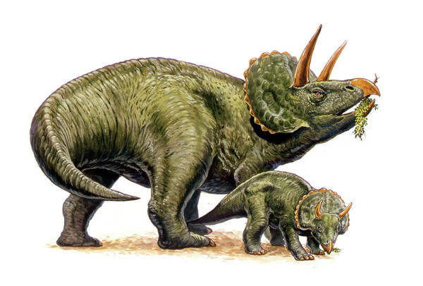 Diceratops Photograph - Nedoceratops Dinosaurs by Deagostini/uig