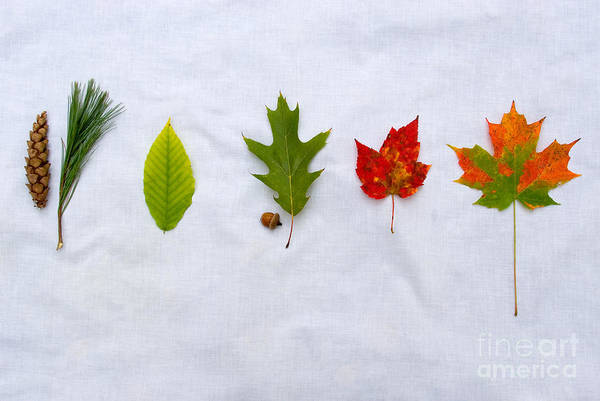 Acer Saccharum Photograph - Needle And Leaf Comparison by Gregory G. Dimijian, M.D.