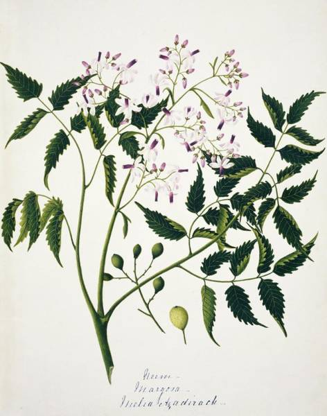 Melia Photograph - Neem Flowers And Fruits by Natural History Museum, London/science Photo Library