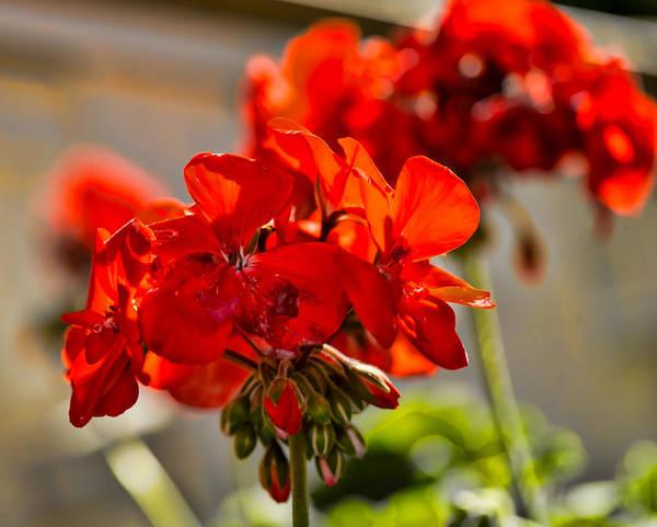 Photograph - neighbour's flower DB by Leif Sohlman