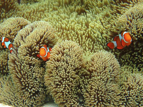 Clownfish Photograph - Nemo Family by Vuk8691