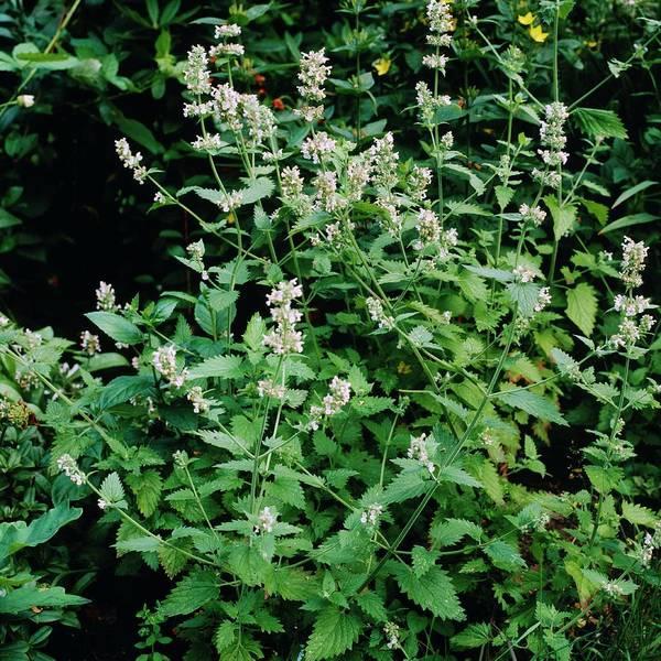 Native Plant Photograph - Nepeta Cataria by J.b. Rapkins/science Photo Library