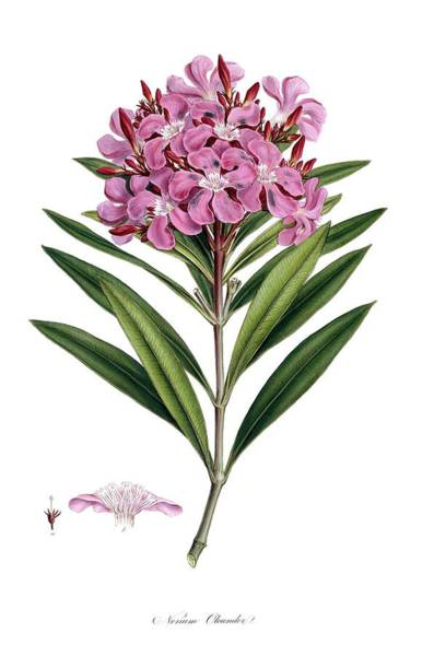 Wall Art - Photograph - Nerium Oleander by Natural History Museum, London/science Photo Library