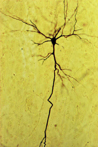 Neuron Wall Art - Photograph - Nerve Cell by Biophoto Associates/science Photo Library