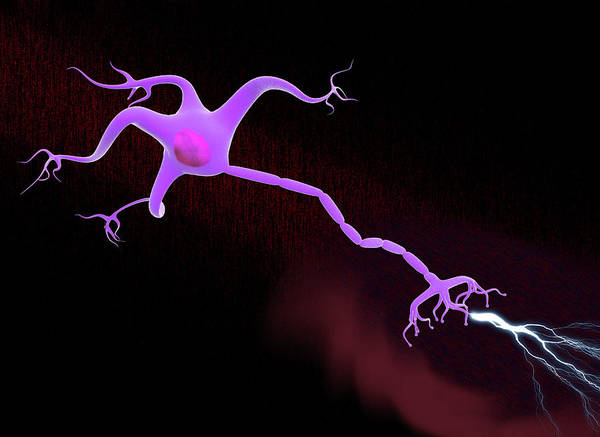 Myelin Wall Art - Photograph - Nerve Cell by Gunilla Elam/science Photo Library