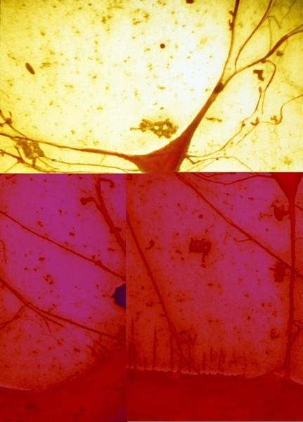 Neuron Wall Art - Photograph - Nerve Cell, Sem by Science Photo Library