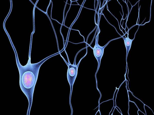 Neurobiology Photograph - Nerve Cells by Alfred Pasieka/science Photo Library