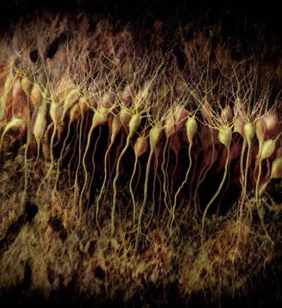 Wall Art - Photograph - Nerve Cells by Anatomical Travelogue