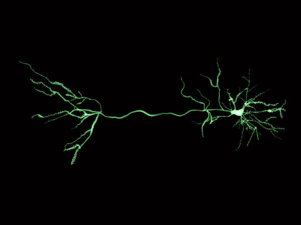 Wall Art - Photograph - Nerve Cells And Synapse, Illustration by Juan Gaertner