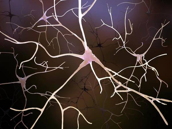 Axon Wall Art - Photograph - Nerve Cells by Andrzej Wojcicki/science Photo Library
