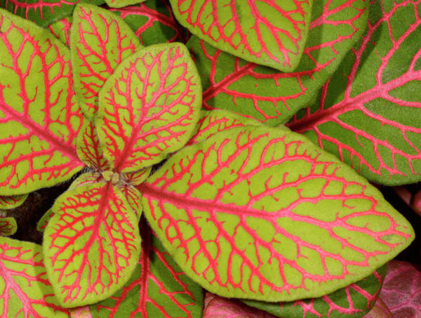 Cerise Photograph - Nerve Plant Leaves by Nigel Downer/science Photo Library