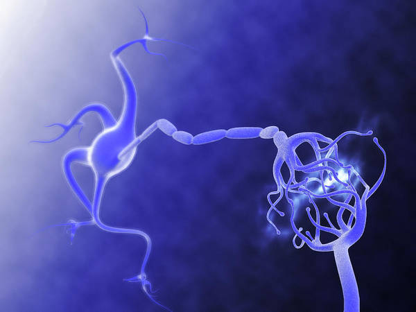 Nerve Cell Photograph - Nerve Synapse by Gunilla Elam/science Photo Library