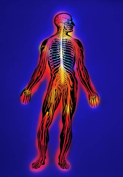 Nervous System Photograph - Nervous System by Mehau Kulyk/science Photo Library
