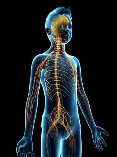 Nervous System Photograph - Nervous System Of A Boy by Sebastian Kaulitzki